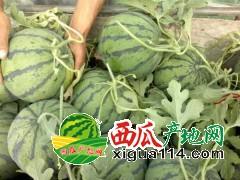 吉林省洮南市黑水镇西瓜代办批发产地
