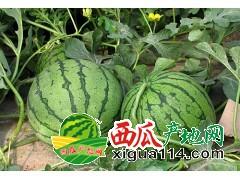 吉林公主岭西瓜代办产地批发京欣甜王西瓜价格