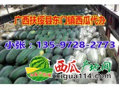 2017年广西崇左扶绥西瓜代办黑美人13597282773