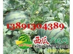 陕西大棚京新西瓜基地价格,大棚京新西瓜产地种植批发价格