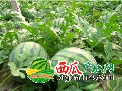 2017年辽宁新民西瓜代办批发价格产地(新民西瓜)