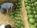 2017年新疆吐鲁番西瓜昌吉西瓜代办批发产地-15981798369