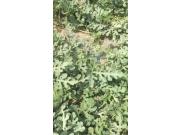 2017河北保定西瓜代办供应基地出售大量西瓜