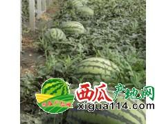 供应辽宁凌海西瓜,长瓜甜王,圆瓜995,京欣上市中