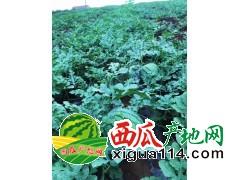 湖北省天门市农场一万亩西瓜即将开园