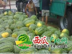 山东菏泽东明大量供应西瓜7月上市 / 诚信代办!!