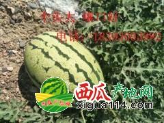 甘肃扎子塬西瓜大量上市欢迎选购18393093982
