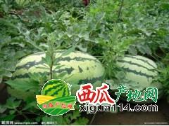 山西定襄县西瓜大甩卖0.15-0.18元