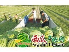 新疆西瓜个大味甜、含糖量高
