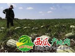 新疆石河子下野地(133团)西瓜