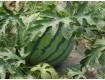 黑龙江省绥化西瓜批发价格产地红旗乡西瓜种植基地