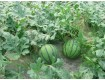 黑龙江北林西瓜代办批发产地、地雷西瓜在七月大量上市