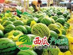 山西忻州天气炎热干旱,沙地西瓜含糖量高