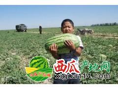 新疆吐鲁番西瓜批发代办产地电话-安农二号、金城5号
