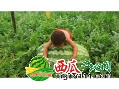 黑龙江省绥化西瓜代办电话代收-红旗乡西瓜生产基地