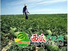 浙江慈溪8424西瓜价格批发产地:杭州西瓜代办基地