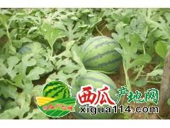 江苏新沂市高流镇西瓜代办产地8424西瓜价格行情