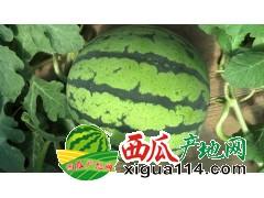 湖北汉川黑皮无籽瓜代办产地:中洲农场 段冬