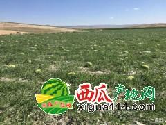 新疆昌吉市6月安农二号西瓜代办批发价格产地