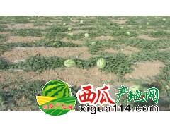 宁夏硒砂瓜代办产地宁夏西瓜营养丰富中卫西瓜产地价格
