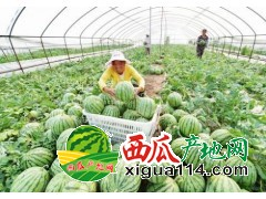 浙江温岭麒麟西瓜代办批发产地价格品种优良
