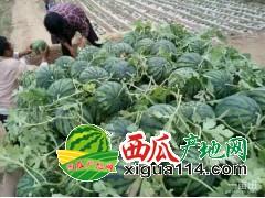 2018山东泗水京欣西瓜产地价格适宜大量上市