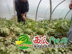 江苏东台西瓜代办批发供应-新曹农场西瓜种植基地