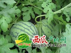 江苏省盐城市阜宁县周桥村郑锦江5月京欣西瓜