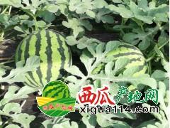广东阳西县上洋镇亩西瓜代办批发产地价格
