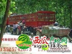 河南扶沟西瓜代办批发价格县尚村岗西瓜批发市场