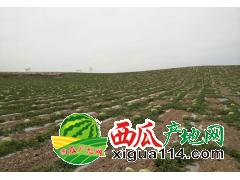 宁夏中卫硒砂瓜个大、瓤红、汁多宁夏西瓜多少钱一斤