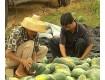 海南琼海黑美人西瓜代办产地-聚焦市场