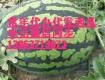 山东泗水西瓜代办批发价格供应电话13963719073
