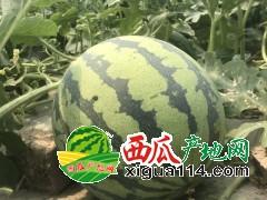 东台西瓜品种最全质量最优口感最好