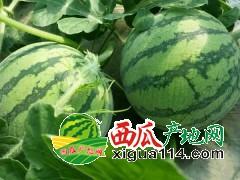 阜宁8424西瓜品种最全 质量最优 口感最好
