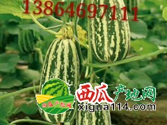 山东潍坊博洋九号甜瓜产地行情好价格便宜