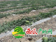甘肃宁县金城5号西瓜价格产地高原半砂土红瓤西瓜代办