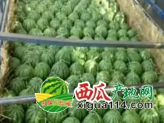 2019山东聊城许营镇甜王西瓜批发价格产地行情