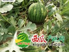 2019年江苏宿迁5000亩特小凤西瓜上市