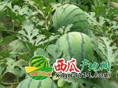 山东万亩西瓜暖棚种植基地大量供应山东京新西瓜