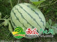安徽砀山绿色无污染8424西瓜批发价非常好