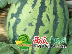 山东潍坊甜王西瓜大量上市了=专业代收山东西瓜