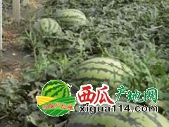 辽宁锦州凌海市大棚甜王、006西瓜上市啦