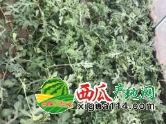 安徽淮南西瓜代办产地自然熟无公害8424西瓜