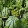 砀山个品种西瓜实时价格,安徽砀山西瓜多少钱斤,西瓜基地价格