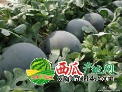 陕西渭南蒲城黑无籽西瓜正在大量批发