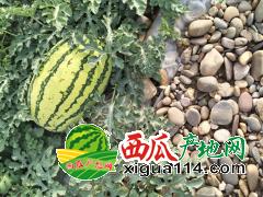 2019/宁夏中卫硒砂瓜价格产地【中宁西瓜代办代收】