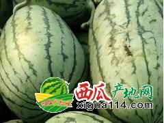 山东潍坊早春红玉西瓜大量供应中,