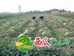 河南扶沟县无籽西瓜及有籽西瓜大量上市