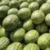 内蒙通辽西瓜价格-属于东北最晚的西瓜了